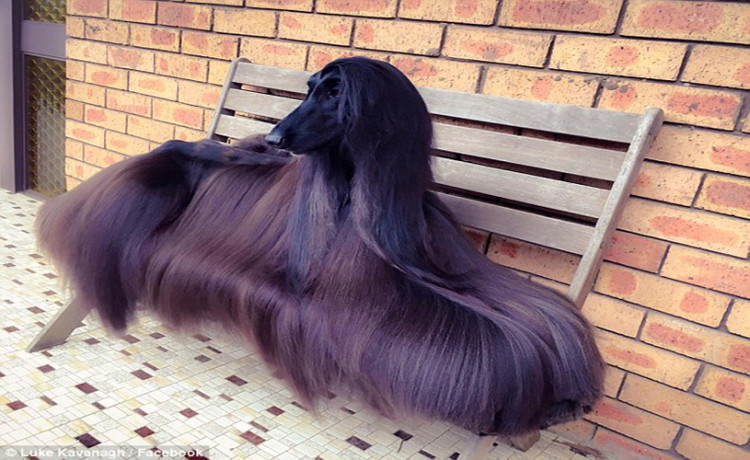 Sydney Afghan dog Tea becomes an online star