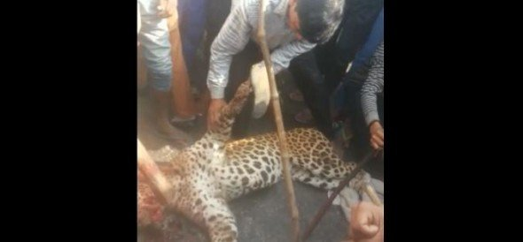 leopard killed by local villagers in Mandawar village of sohna Gurgaon border