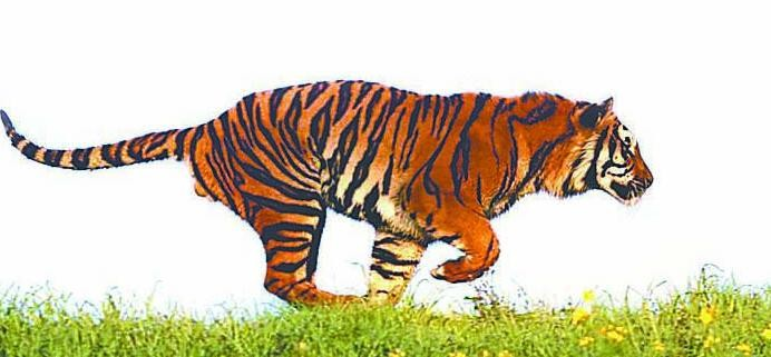 The heifer was also killed in the attack wounded tigress