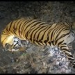 tiger hit by train in mp