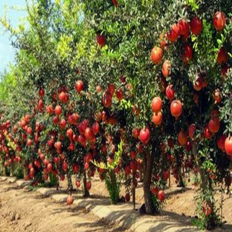 man quits job to produce pomegranate now earns in lakhs