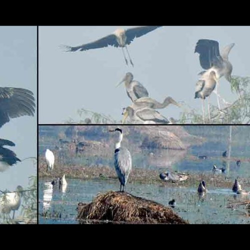 These rare birds appeared 90 years later in Sultanpur