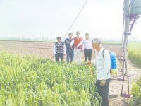 The knock the yellow rust, signs appeared in two farmers' fields, Kurukshetra