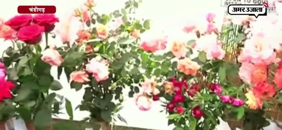 A VARITIES OF ROSES FRAGRANCE IN 'ROSE FESTIVAL' in Chandigarh