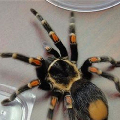 Angelina Jolie enjoy dry chips like spiders and tarantulas