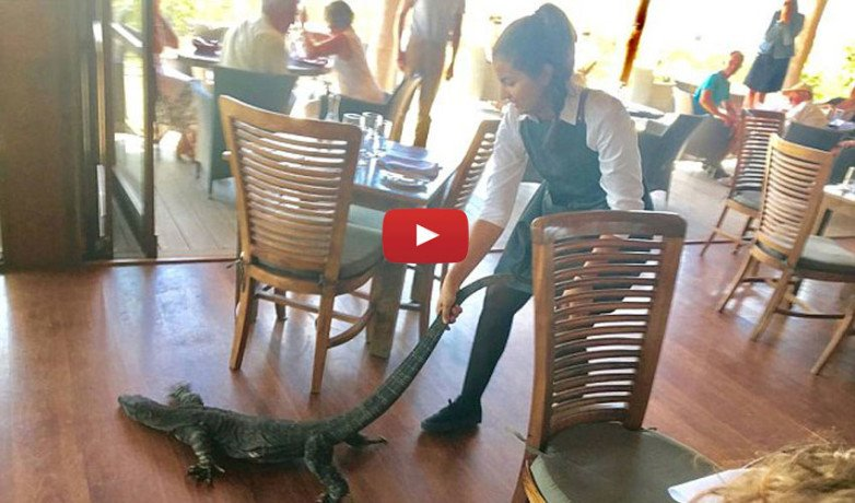 Girl Drags A Big Lizard By Her Tail In A Restaurant Full Of People
