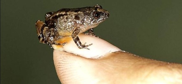 Scientist Found A New Species Of Frog In India