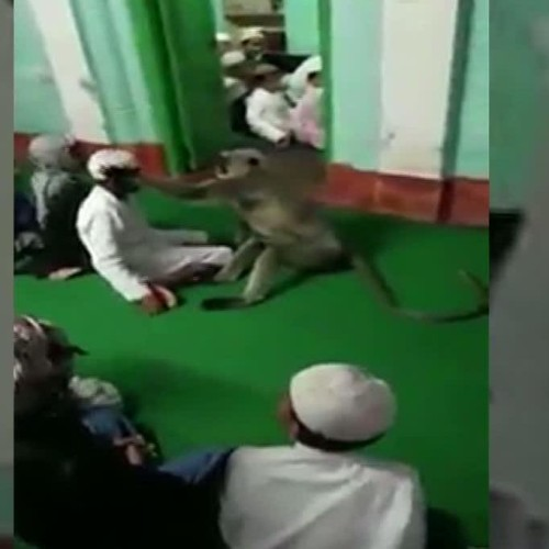 Video of langoor playing with devotees in a mosque goes viral