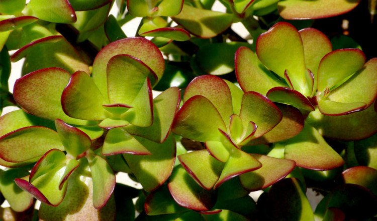 Keep Crassula Plant In Home To Attract Money