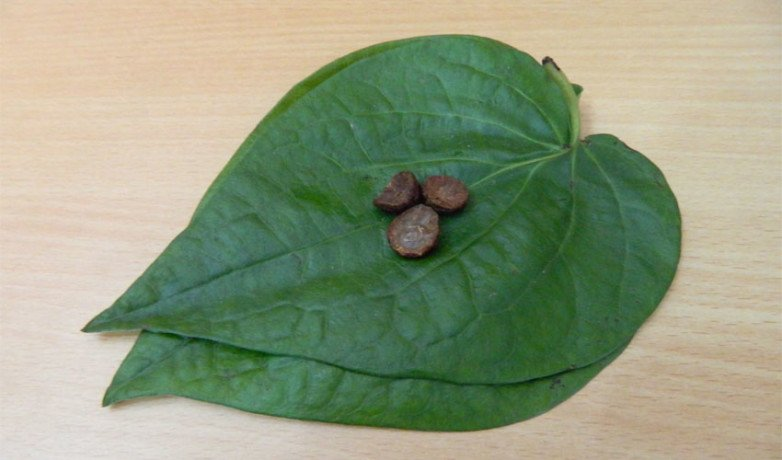 Betel Leaf Will Turn Your Bad Luck Into Good