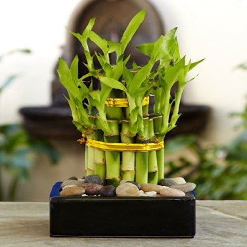 Bamboo,nari