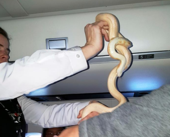 Passengers' horror as pet snake slithers through US flight
