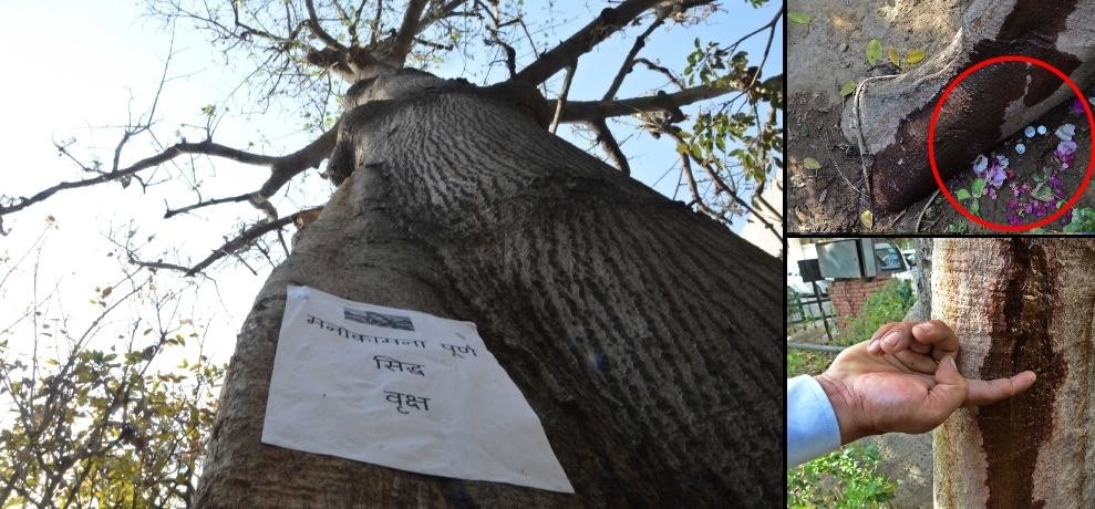 sweet water stream coming out bombax tree at shastri bhawan in delhi, expert says tree is ill