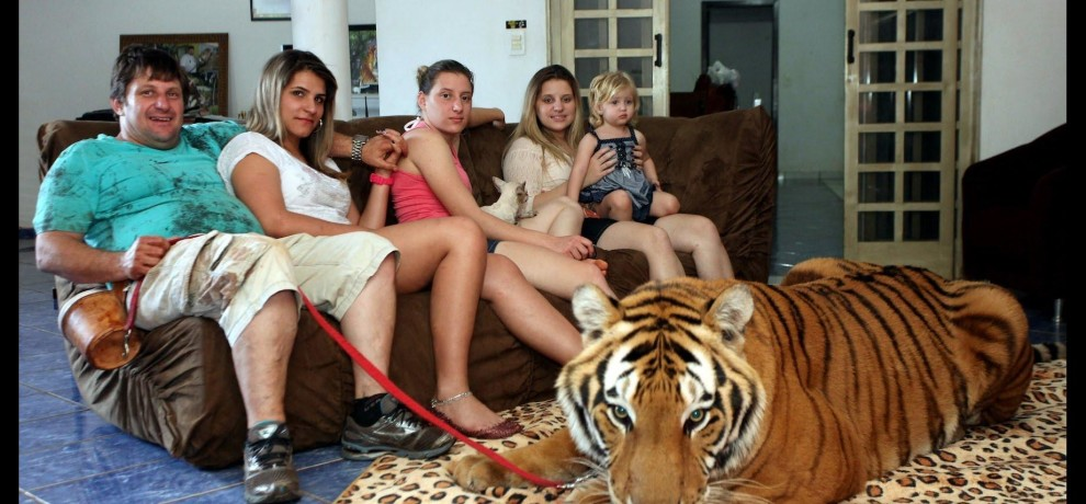 Brazilian family having 7 tigers in their house
