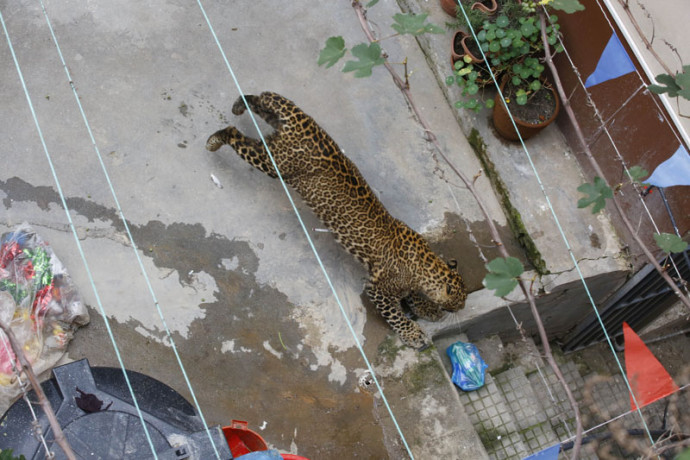LEOPARD CAUGHT IN GURUGRAM HOUSE,