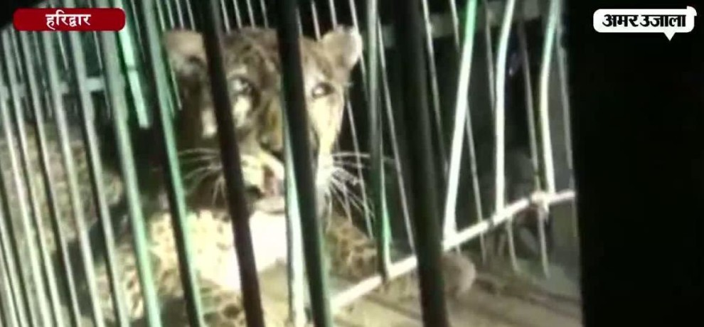 Forest officials capture Leopard from Rajaji National Park at Haridwar