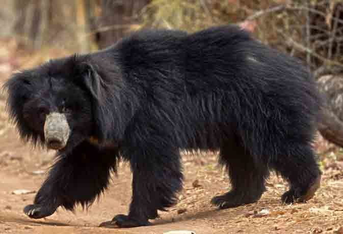 VILLAGERS INJURED IN BEAR ATTACK IN JAIPUR