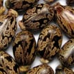Castor seed is a natural contraception, if it is taken in this way pregnancy will not happen