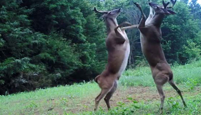 Watch  Bizarre Slap Fight between two deer by Tennessee Wildlife Resources Agency