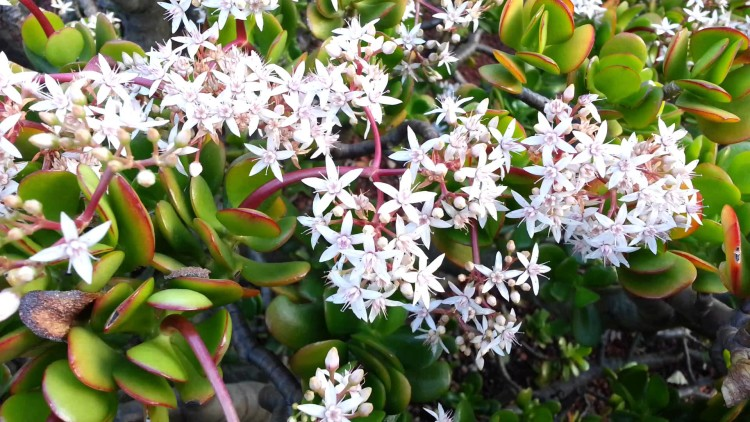 for attract money keep Crassula Plant at your Home