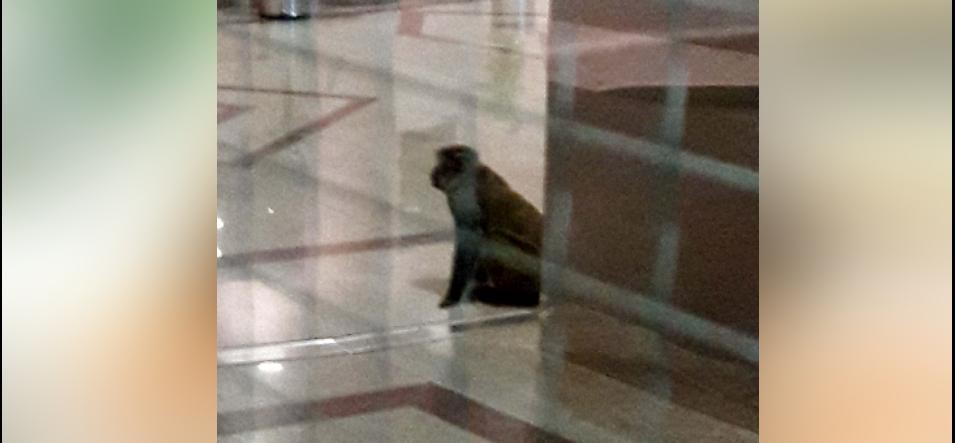 monkeys terror in delhi for more than two hours