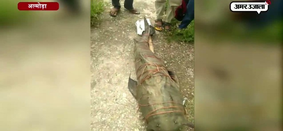 A HUGE FISH FOUND IN RIVER RAMGANGA NEAR ALMORA