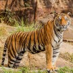 ONE DEAD AND ONE INJURED IN ATTACK OF TIGER IN PILIBHIT TOTAL 19 DEAD IN 9 MONTHS