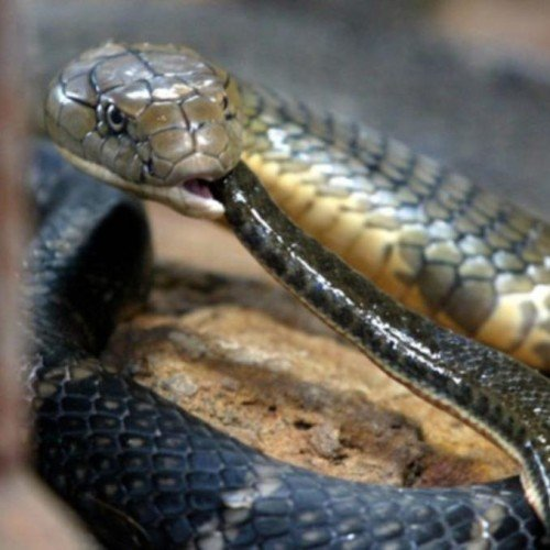 king cobra attacked on a man in laksar