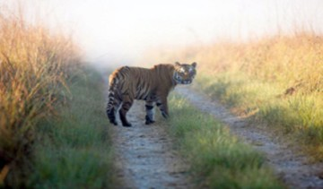 Tiger Terror In Pilibhit Of Uttar Pradesh 3 More Killed In Tiger