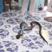 10 foot python was found under the bed