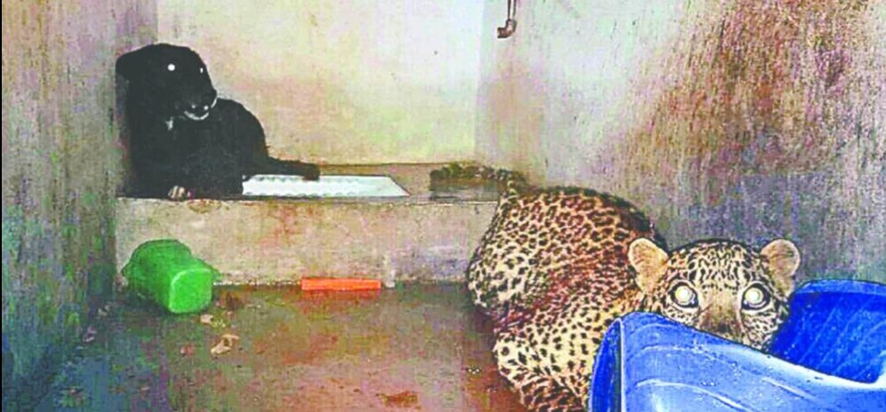 leopard and dog into bathroom in eight hours