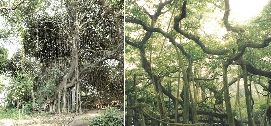 Magical tree, approximately 300 years old, spread over 3.5-acre land