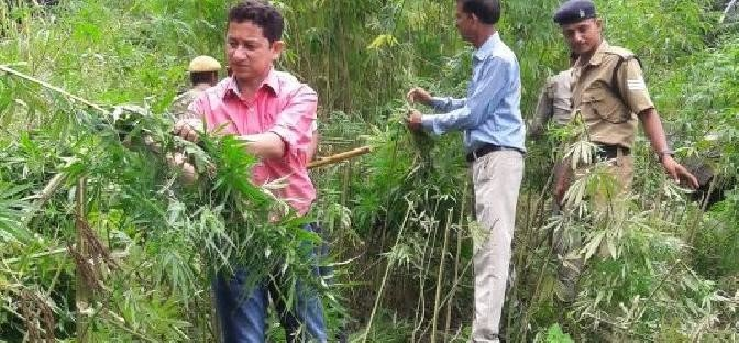 Destruction of cannabis farming in a hectare in Kapkot