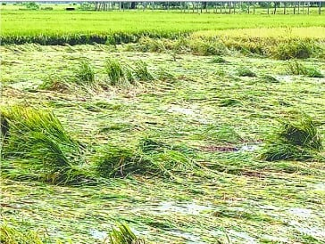 Due to the loss of paddy cultivation in 250 hectares