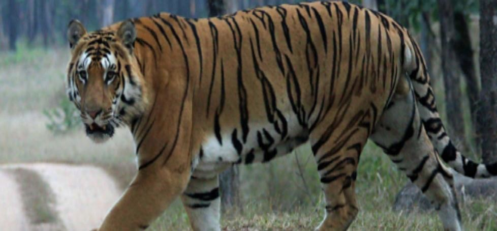 Blood Sample at tiger attack site will be examined