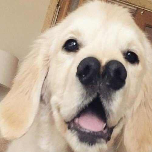 this golden retriever dog has two noses see the unusual pics