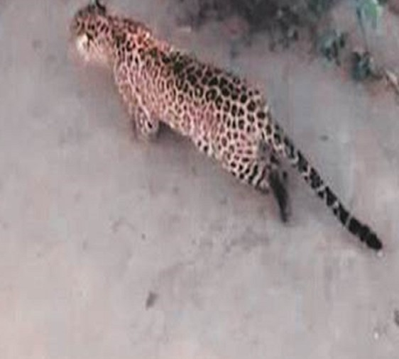 maternal grand mother saved four year old child from Leopard in Moradabad
