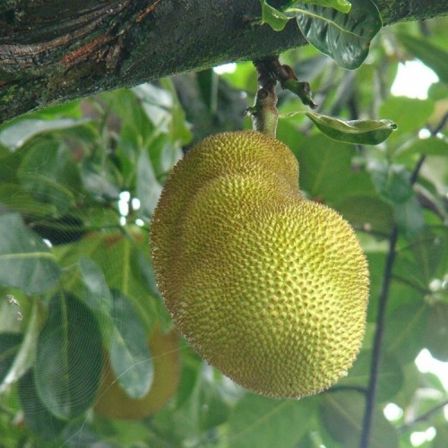 Know how Jack fruit can make your bones strong by leaving glowing effect on your skin