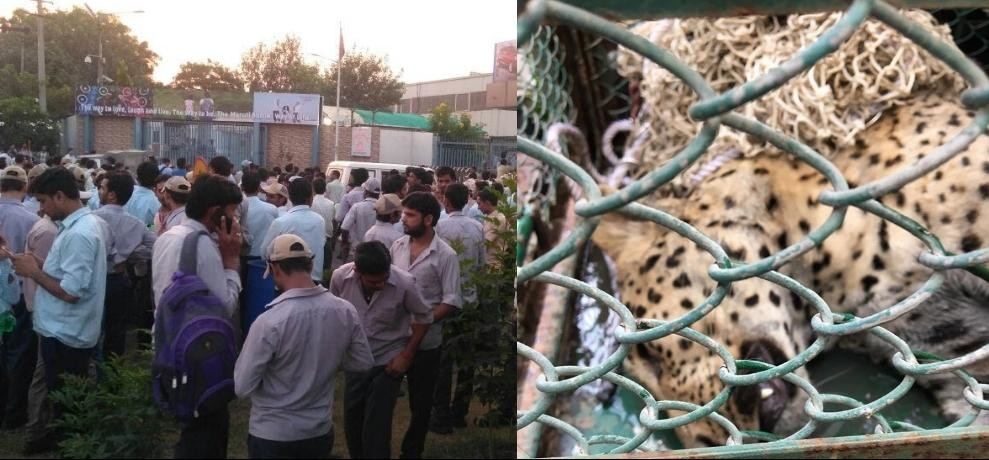 Leopard that entered Maruti Suzuki Manesar plant is captured by forest officials after 35 hours