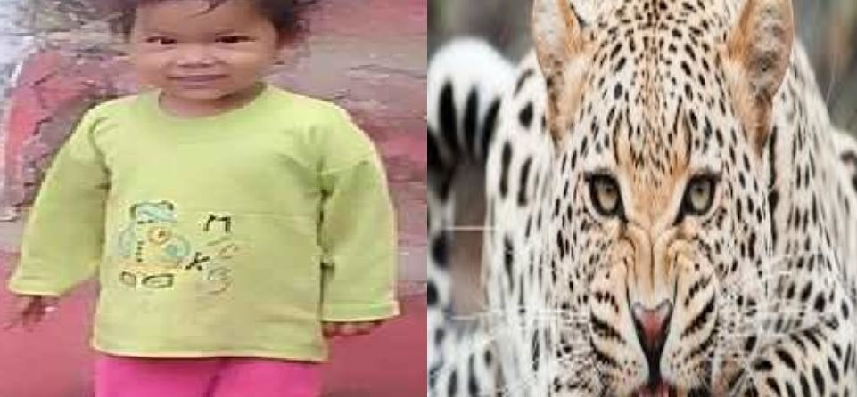 Leopard killed three years old girl in bageshwar