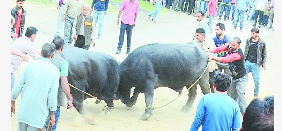 dc and sp filed affidavit in sayar mela buffalo fight issue