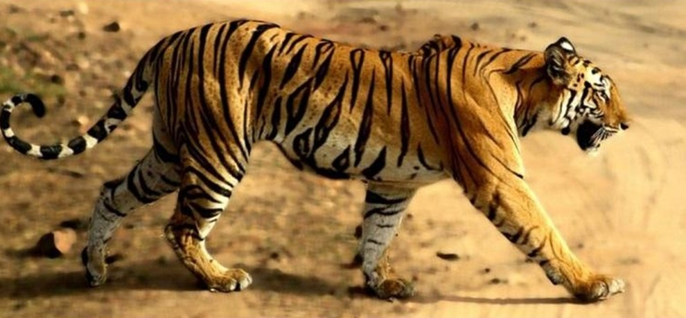 tigress Bor Tiger Reserve travels 500km in 76 days will face bullets or a life in captivity
