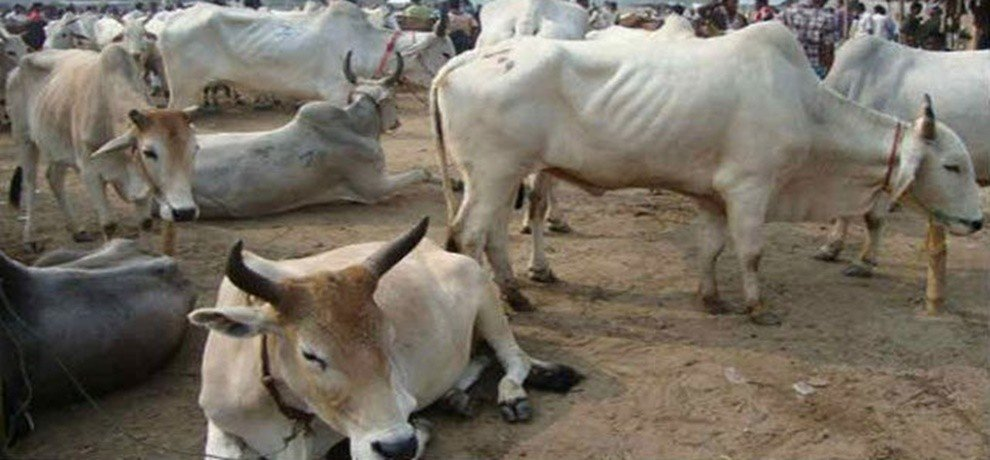 jharkhand government will soon introduce health cards to 15 lakh cows