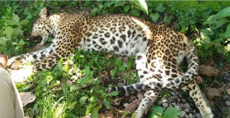 Leopard found unconscious condition on the side of the road