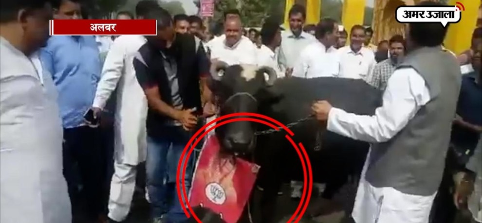 congress protest with buffaloes to show black remark to BJP CM VASUNDERA RAJE IN ALWAR