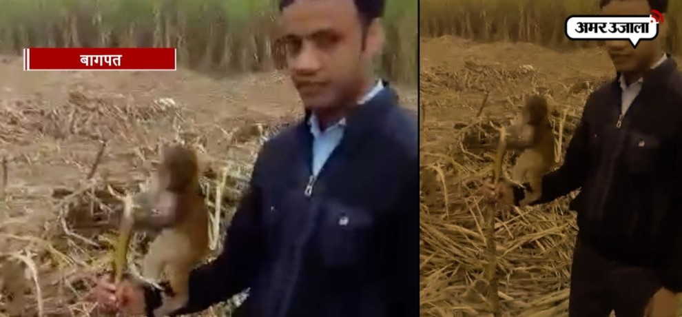 VIDEO: MONKEY'S LOVE FOR SUGARCANE IN A FARMLAND OF BAGHPAT