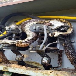 snake death due to wrapped in Transformer Current