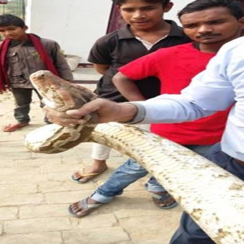 twelve feet python spotted at Degree college in Allahabad