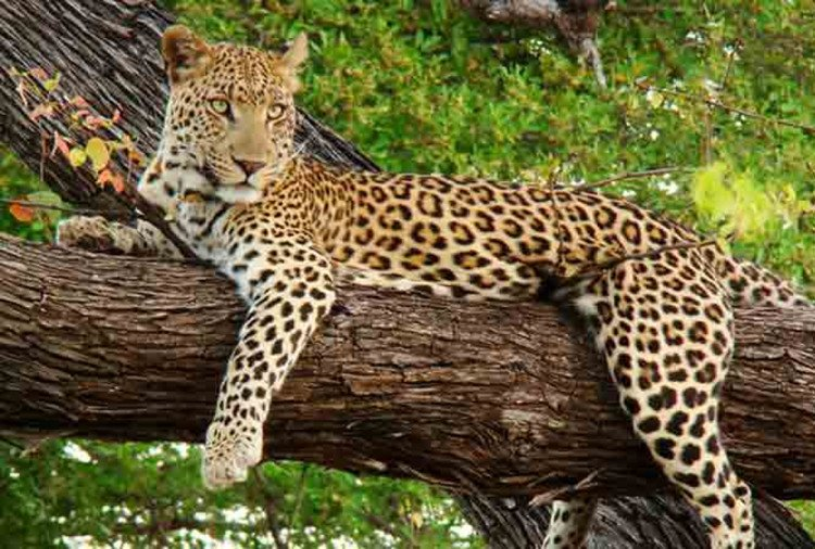 leopard found in etawah wildlife safari park