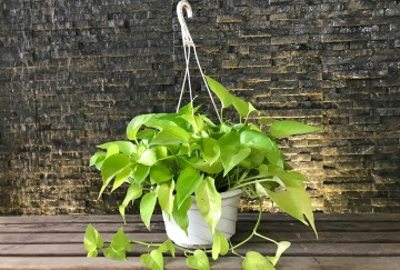 according to vastu know about how to keep money plant in right directions